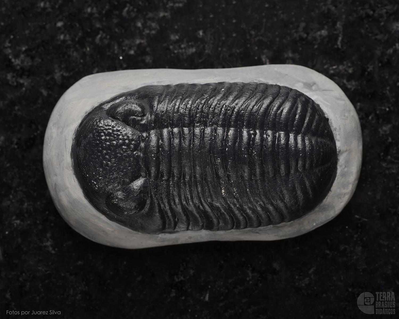 Trilobita: Phacops crassituberculata