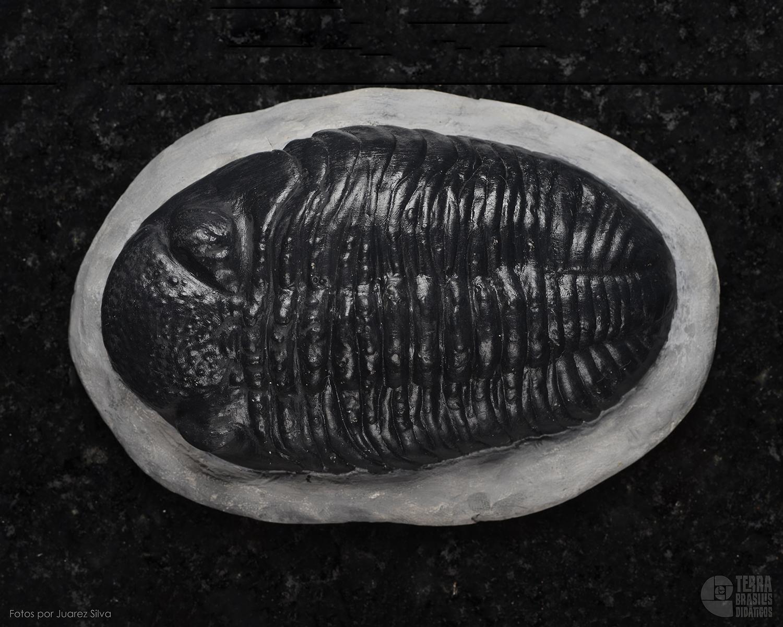Trilobita: Phacops africanus