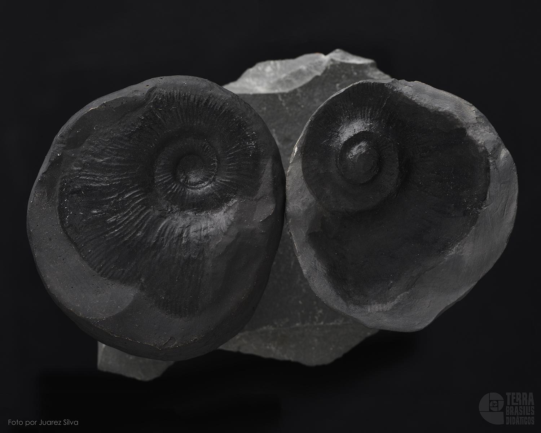 Amonita: Blanfordiceras sp