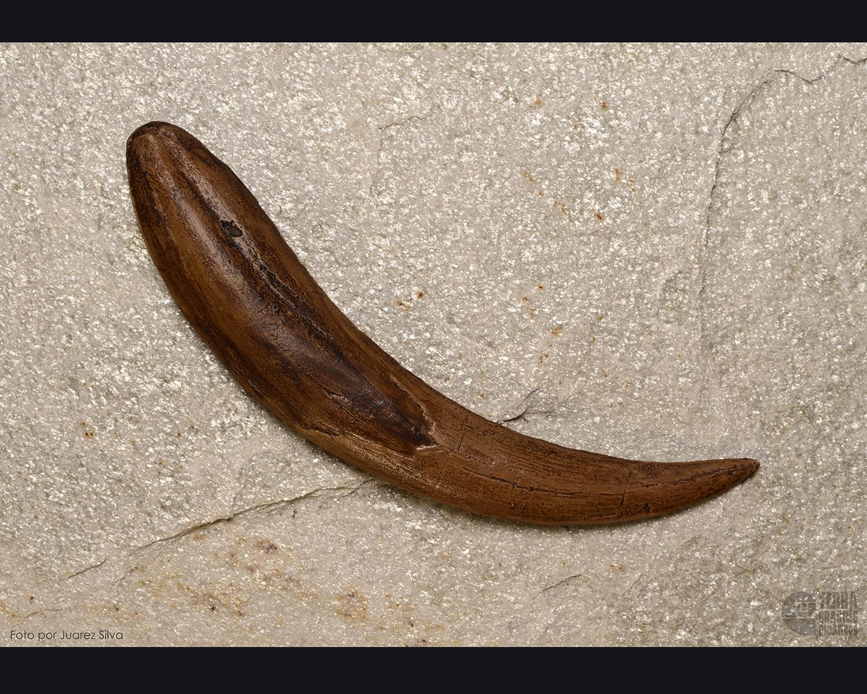 Dente de Tigre-dente-de-sabre: Smilodon californicus