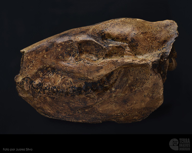 Crânio: Merycoidodon culbertsoni