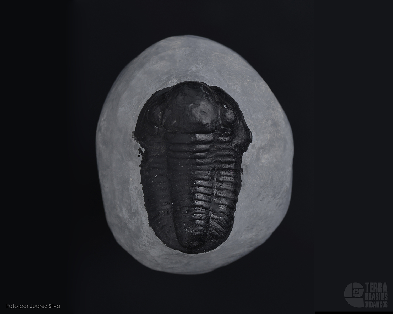 Trilobita: Proetus sp