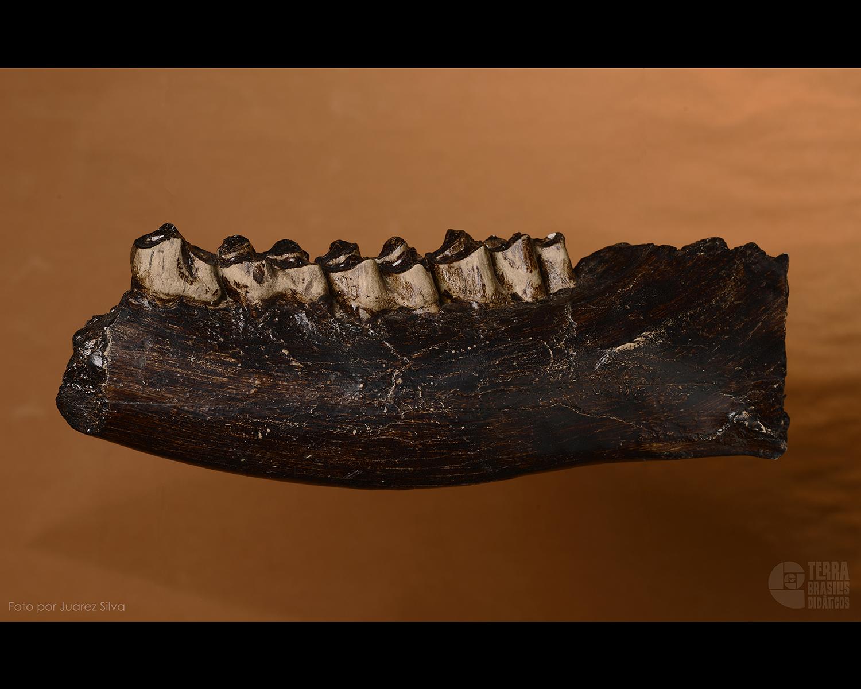 Mandíbula de alce: Megaloceros giganteus