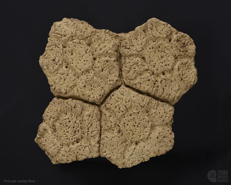 Placa osteodérmica de Glyptodon reticulatus