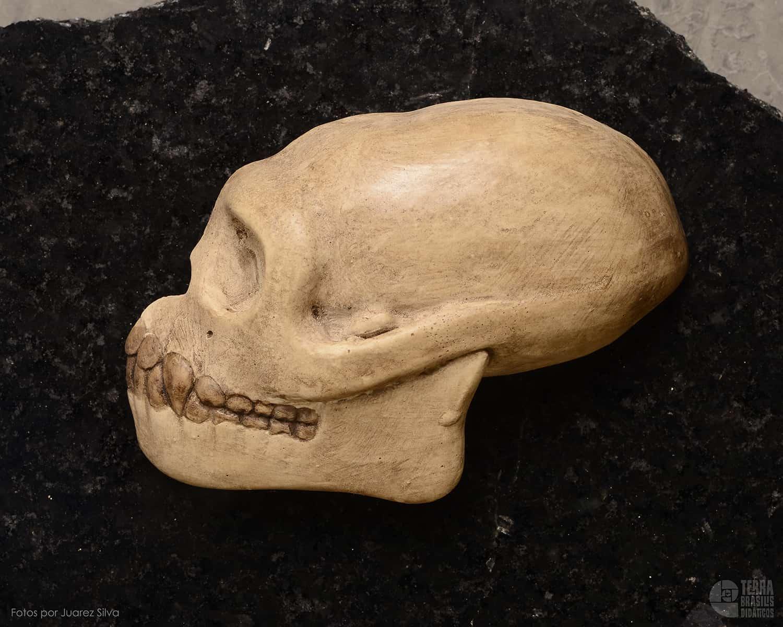 Hemicrânio esquerdo de Pliopithecus sp