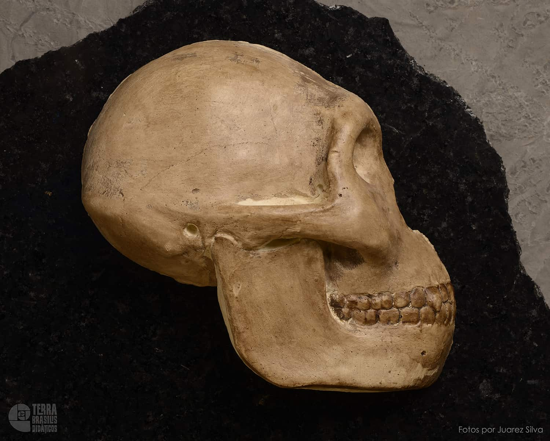 Hemicrânio direito de Australopithecus africanus (juvenil)