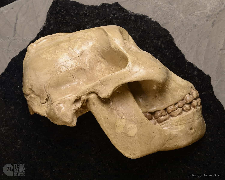 Hemicrânio direito de Paranthropus (Australopithecus) boisei