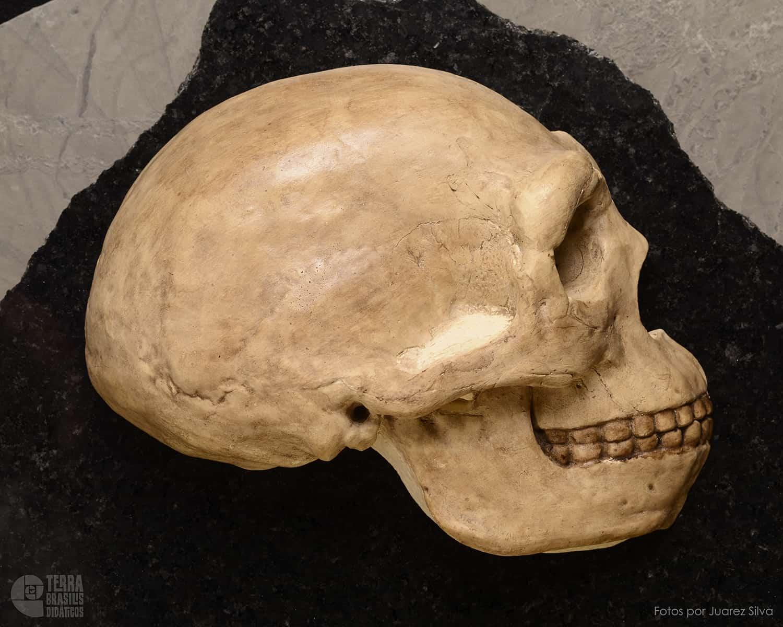 Hemicrânio direito de Homo erectus