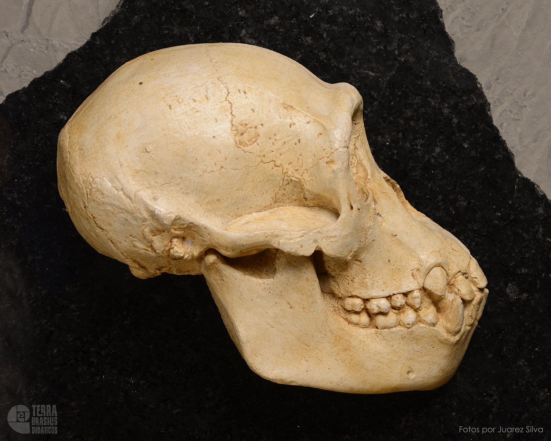 Hemicrânio direito de Chimpanzé – Pan troglodytes