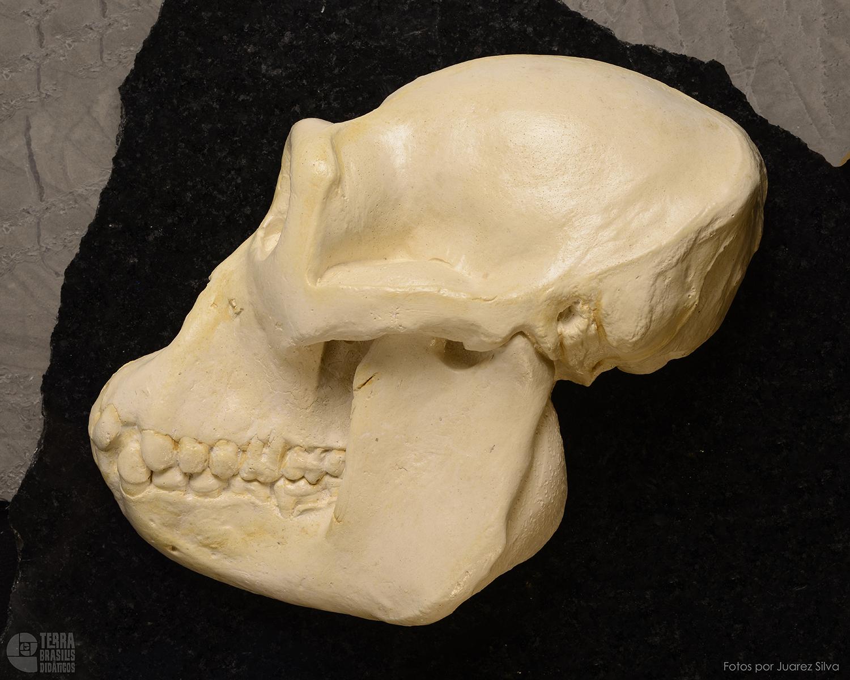 Hemicrânio esquerdo de Gorila – Gorilla gorilla