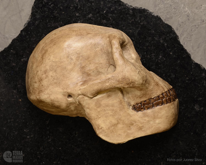 Hemicrânio direito de Homo habilis