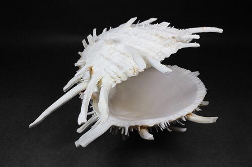 Concha de Molusco – Spondylus americanus