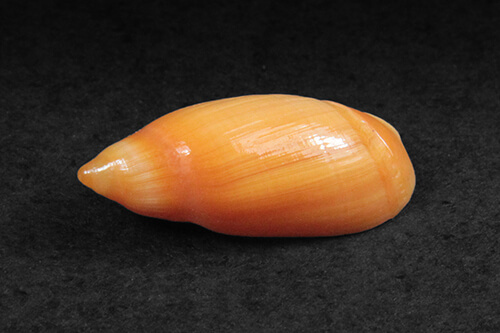 Concha de Molusco – Ancylla faustoi