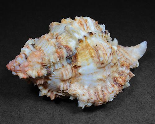 Concha de Molusco – Phylonotus pomum