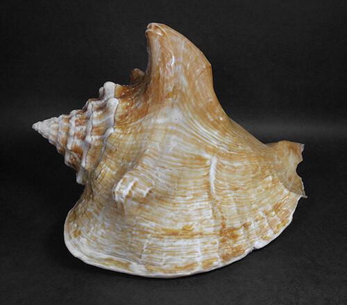 Concha de Molusco – Strombus costatus