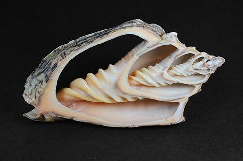 Corte de concha de gastrópode – Voluta ebraea