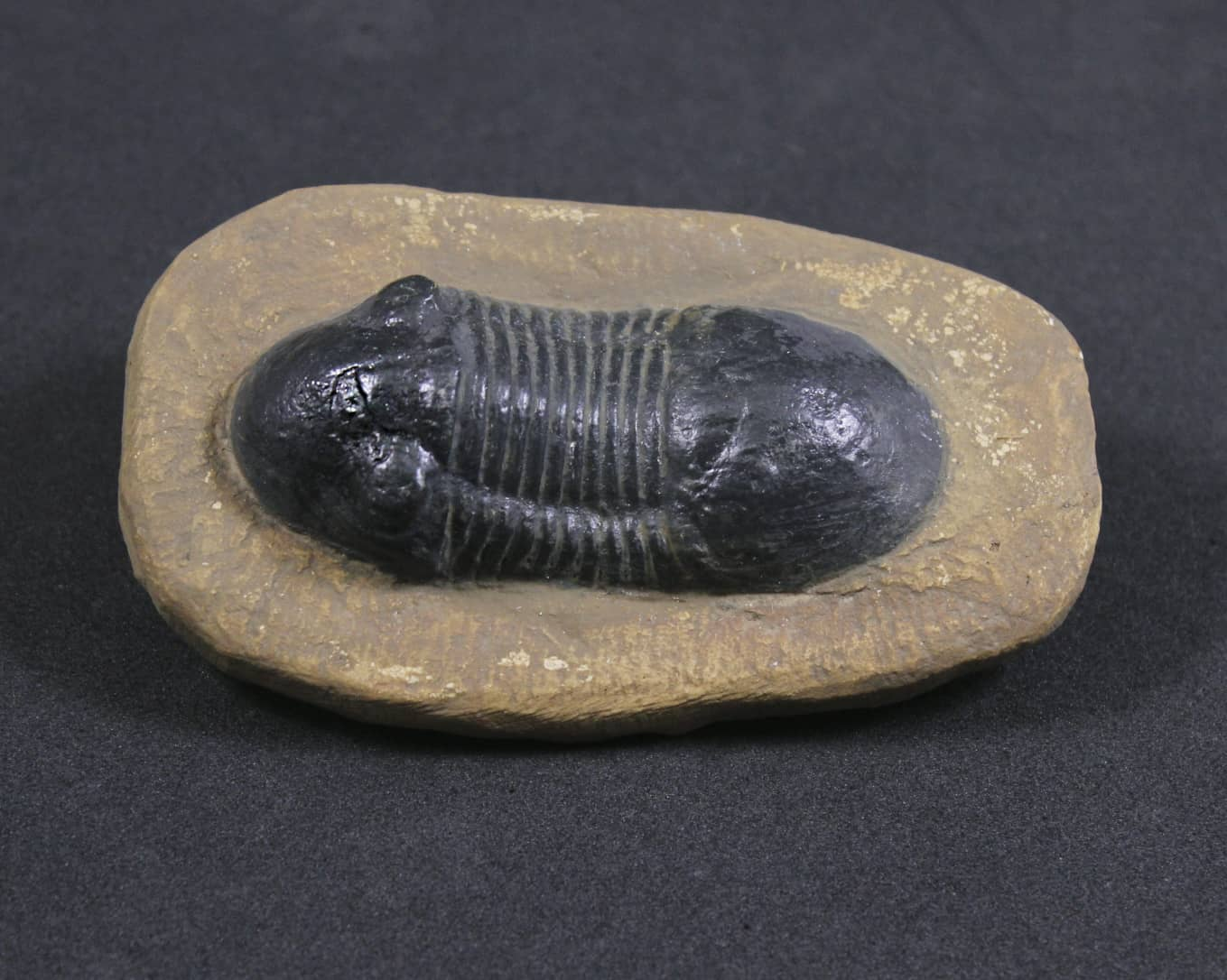 Trilobita: Paralejurus sp